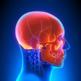 Skull Anatomy with Circulatory System Stock Photo