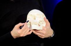 Skull. Anatomy of skull in hand stock photo