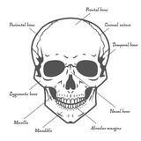 Skull anatomy at white background Royalty Free Stock Photography