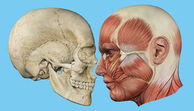 Free Skull And Muscles Profile Royalty Free Stock Photography - 60860527