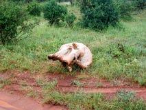 Skull. Animal Skull in  Africa Kenia Stock Images