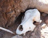 Skull of animal Stock Photo