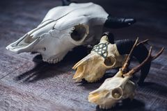 Skull of an animal with horns. Decor skull of an animal with horns for photoshoots and magic stock photos