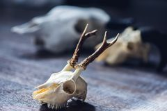 Skull of an animal with horns. Decor skull of an animal with horns for photoshoots and magic royalty free stock images