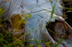 White animal skull in game park south africa. Skull of animal lying in grass of game park in South Africa. Horned animal, sun bleached bones. Head, skull, wild royalty free stock photo