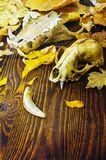 The skull of an animal in a pile of autumn leaves Stock Photography