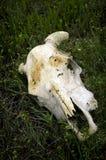 Skull of Animal on Prarie Royalty Free Stock Photos