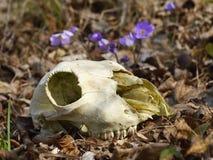 Skull of the animal Stock Image