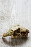 Skull animals backgrounds Stock Image