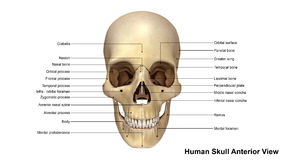 Skull Anterior view Stock Images