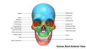 Skull Anterior view Royalty Free Stock Photography