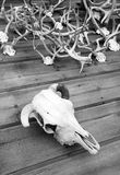 Skull Bone and Antlers Mounted on Wood Wall Royalty Free Stock Photography