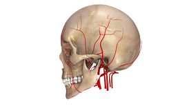 Skull with Arteries lateral view Stock Photos