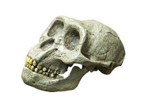 The skull of Australopithecus africanus from Africa. On the white background Stock Photography