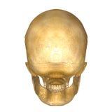 Skull_Back 免版税库存照片