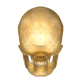 Skull_Back Royalty Free Stock Photos