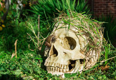 Skull in the backyard Stock Photography