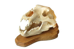 Skull of a bear Royalty Free Stock Photos