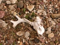 Skull in bed of rocks Royalty Free Stock Photos