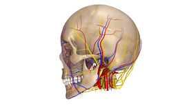 Skull with blood vessels and Nerves lateral view Stock Photography