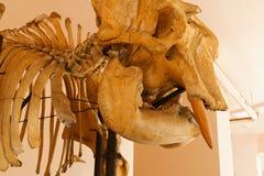 Skull bone of elephant animal Royalty Free Stock Photo