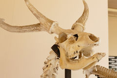 Skull bone of sambar deer animal Royalty Free Stock Photography