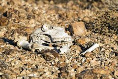 Skull and bones of animal lie on the stones in the desert Stock Photos