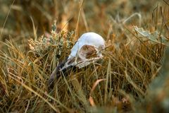 Skull bones of a bird in the dry grass. Seen near Skipton, North Yorkshire, England, UK royalty free stock photos