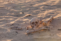 Skull and bones in morning desert. A human skull and some bones lie in the desert morning sun - did a traveller lose his way Royalty Free Stock Image