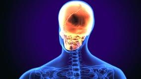 3d illustration of human body skull anatomy