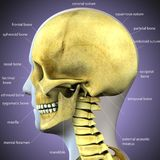 3d illustration of skeleton skull anatomy. The skull is a bony structure that forms the head in vertebrates. It supports the structures of the face and provides Stock Image