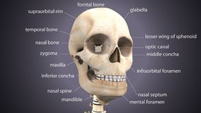 3d illustration of skeleton skull anatomy. The skull is a bony structure that forms the head in vertebrates. It supports the structures of the face and provides Royalty Free Stock Photos