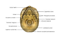 Skull bottom view. The human skull is a bony structure, the head in the skeleton, which supports the structures of the face and forms a cavity for the brain stock photography