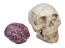 Skull and Brains Royalty Free Stock Photo