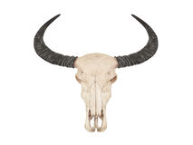 Skull of buffalo with horns Stock Photography