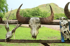 Skull of buffalo Stock Image
