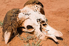 Skull of a buffalo Stock Photos