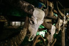 The skull of a bull hangs on the wall. Very old and worn from time to time stock images