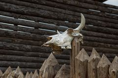The skull of a bull Stock Image