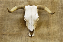 Skull on burlap. A bleached steer skull with horns with a burlap background Royalty Free Stock Images