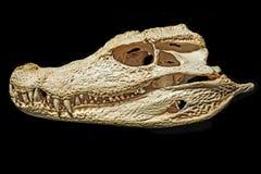 Skull of caiman Royalty Free Stock Photo