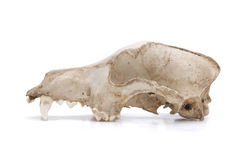 Skull of Canine. Image of a canine skull on white background Stock Photos
