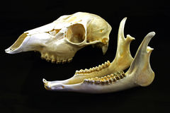 Skull (Capreolus capreolus) Royalty Free Stock Image