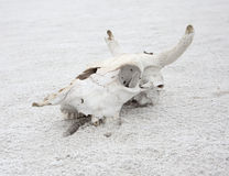 The skull of cattle Stock Photos