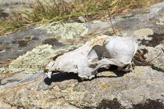 Skull cattle on the rock. Stock Photo