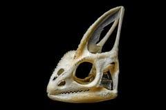 Skull of chameleon Royalty Free Stock Image