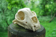 Skull of a cheetah made from resin. The skull of a cheetah that's made from resin displayed on a wood post Royalty Free Stock Image