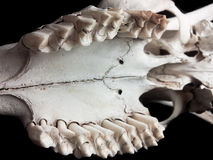 Skull closeup, teeth. Closeup of teeth on upper jaw of a animal skull Royalty Free Stock Photography