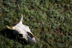Skull cloven-hoofed animal. Cow skull with horns in the desert on the green grass Stock Photos