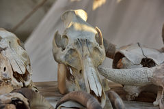 Skull cloven-hoofed. Cloven-hoofed skull with teeth Stock Photos
